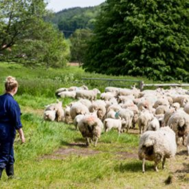 female in overalls with herd of sheep in a field