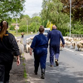 people herding sheep along a road